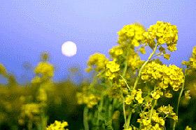 に 日 に は 菜の花 東 月 や は 西 「菜の花や 月は東に